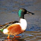 shoveler on ice by Steve Shand
