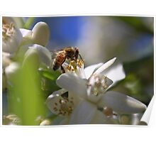 Orange Blossom Bee Poster