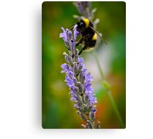 Harvesting Lavender #2 Canvas Print