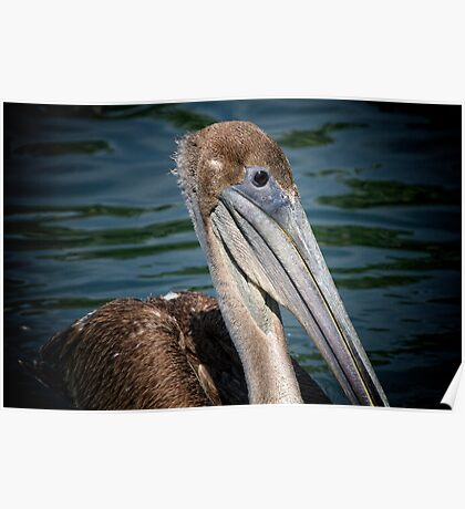Brown Pelican Profile Poster