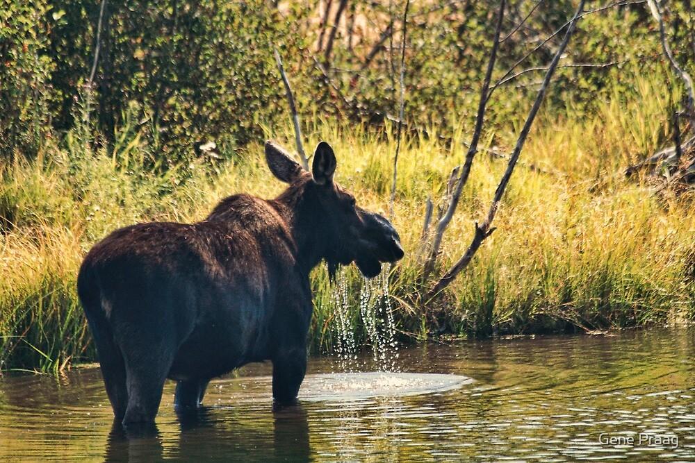 A Moose Sip by Gene Praag