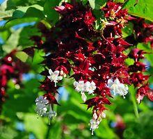 Himalayan Honeysuckle  by Susie Peek