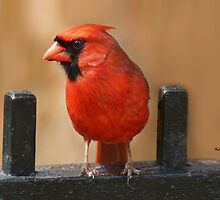 Winter Cardinal by KatMagic Photography