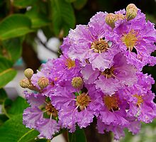 Lilac - with Raindrops by Maria Martinez
