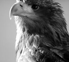 White-tailed Sea Eagle 'Sika' by Simone Kelly