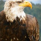 American Eagle by stevefinn77