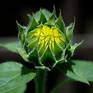 Sunflower - Almost Grown by Barry Doherty
