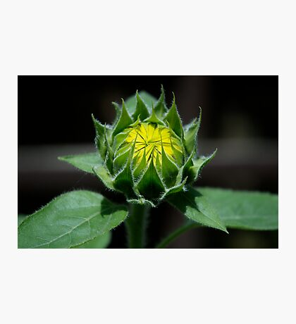 Sunflower - Almost Grown Photographic Print