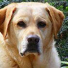 Labrador (Bouncer) by Russell Voigt