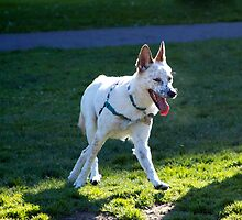 Australian Cattle Dog Mix by dogsofsf