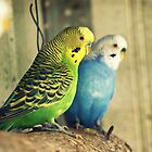 Budgies by Crystal Potter