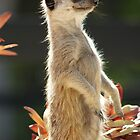 Meerkat by Crystal Potter
