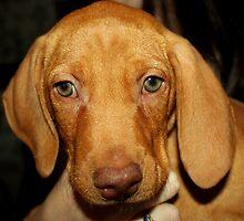 Adorable Vizsla Puppy by anitahiltz