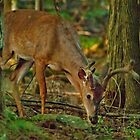 White Tail Deer in Deep Shadow by Robert H Carney
