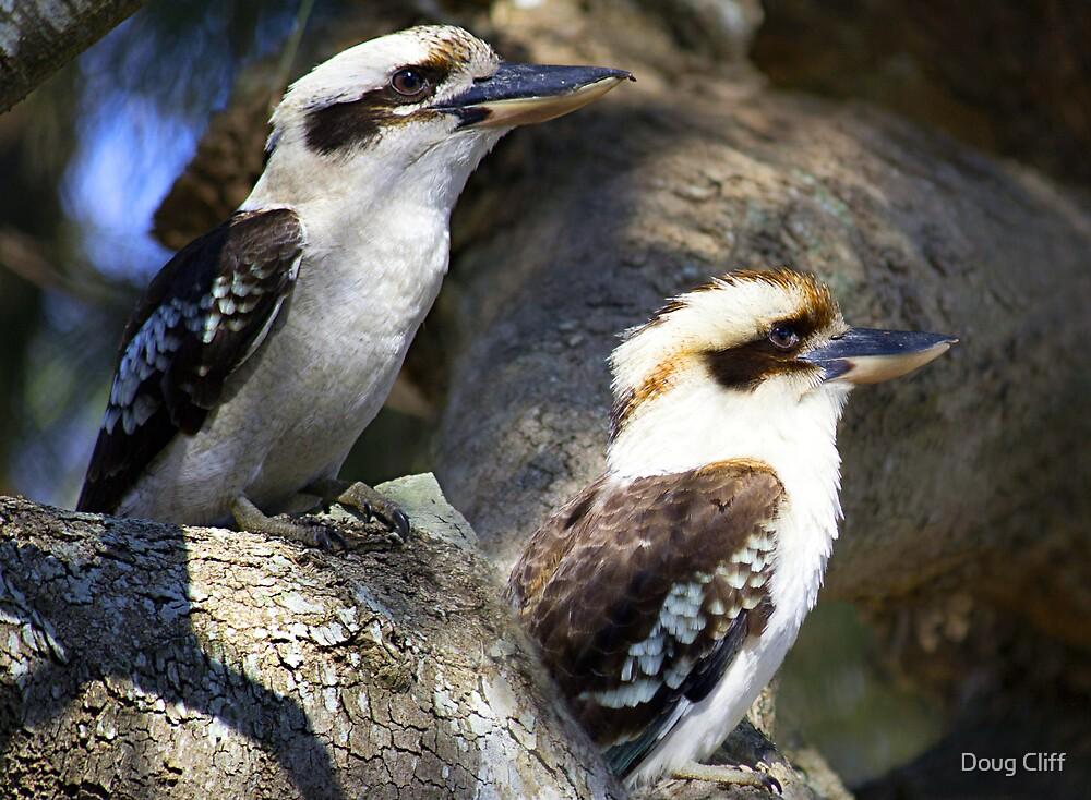 Kookaburras in the old oak tree by Doug Cliff