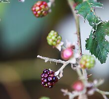 Black Berries in the Forest by brijo