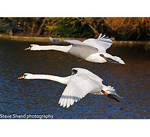 mute swan flight Photographic Print