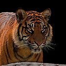 Sumatran Tiger v2 by JMChown