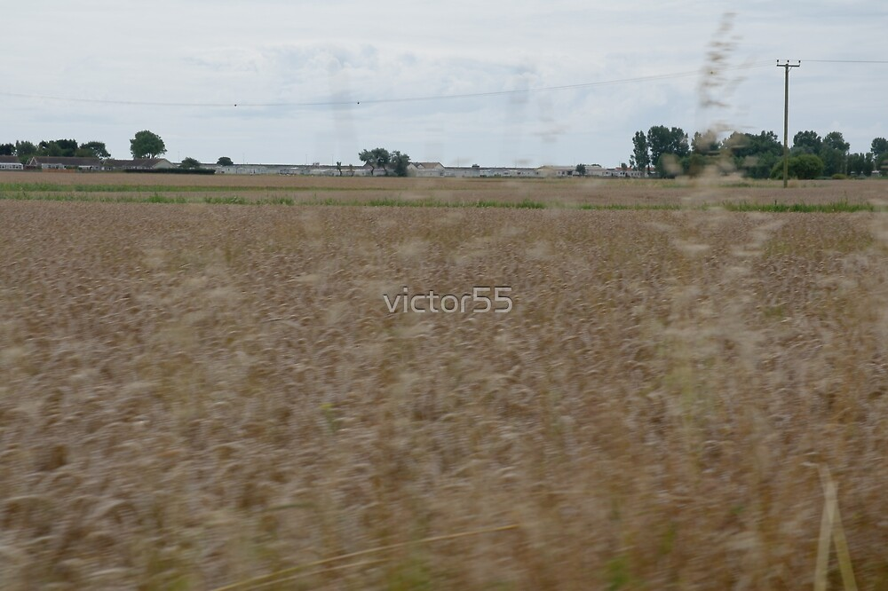 Field of Corn by victor55