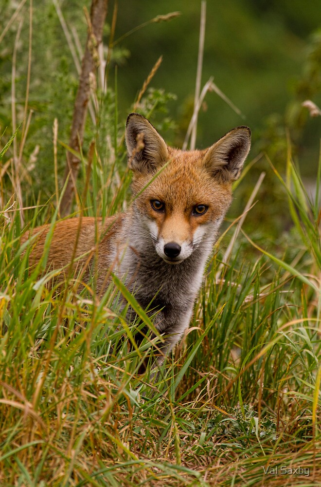 Young Fox by Val Saxby