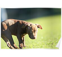 American Pit Bull Terrier dog with funny expression, taken at an angle Poster