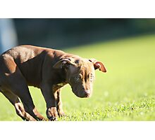 American Pit Bull Terrier dog with funny expression, taken at an angle Photographic Print