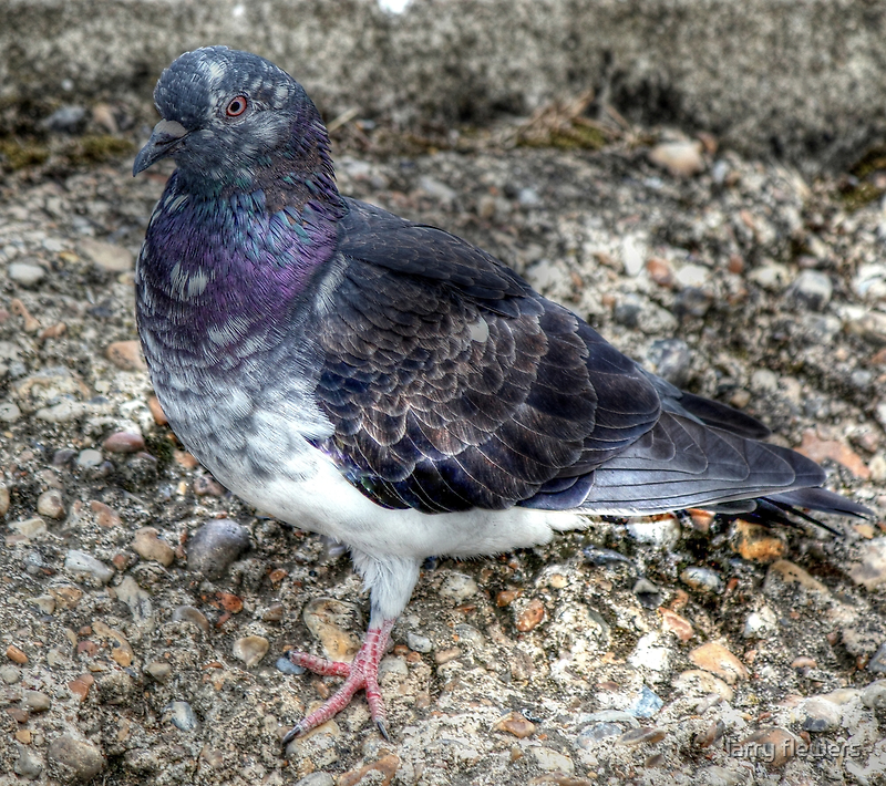 Feral Pigeon  by larry flewers