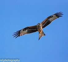 Red Kite by Steve Shand