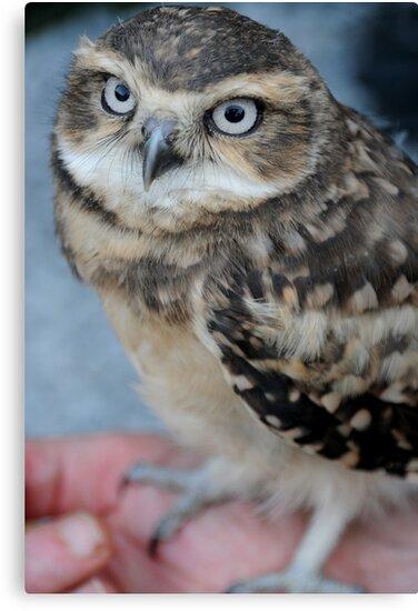 Burrowing Owl 'Dawn' by Simone Kelly