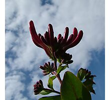Honeysuckle buds against the sky Photographic Print