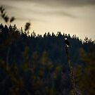 Bald Eagle - Harrison Lake, BC by Tamara Brandy
