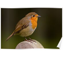 Robin (Erythacus rubecula) Poster