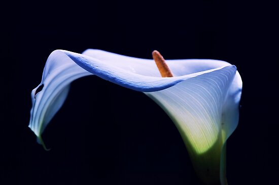 Unfolding Lily by Stephen Mitchell