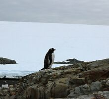 Lone Penguin by mischif