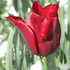 Butchart Gardens - Red Tulips  by DPalmer