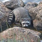 Raccoon on the rocks by Anthony Brewer