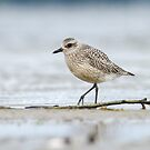 American Golden Plover by Bill McMullen