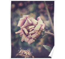 sweet pink african daisy Poster