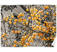 Persimmon Fruit Poster