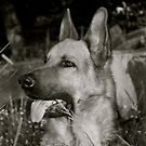 German Shepherd by Lou Wilson