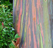 Rainbow Eucalyptus by Bryan  Keil