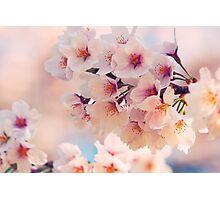 Japanese Sakura Cherry Blossom Photographic Print