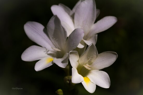 Freesias by Elaine Teague