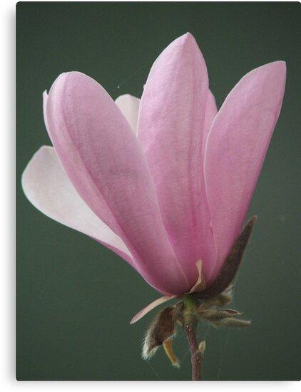 Magnolia (8151) by ScenerybyDesign
