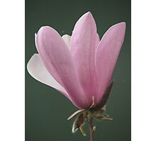 Magnolia (8151) Photographic Print