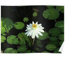 One last white water lily Poster