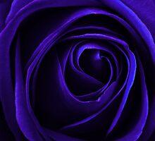 blue rose by clayton  jordan