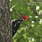 Pileated Woodpecker~ by Renee Blake