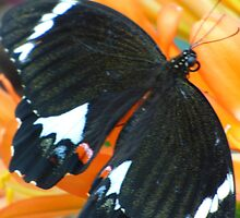 Butterfly on Clivea Flower  by Virginia McGowan