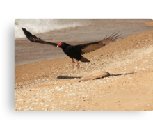Turkey Vulture With Fish Carcass~ Canvas Print